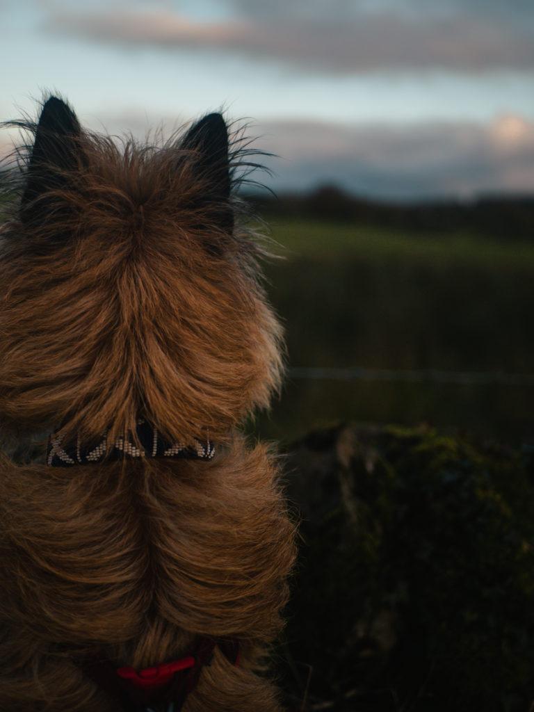 chien écosse promenade