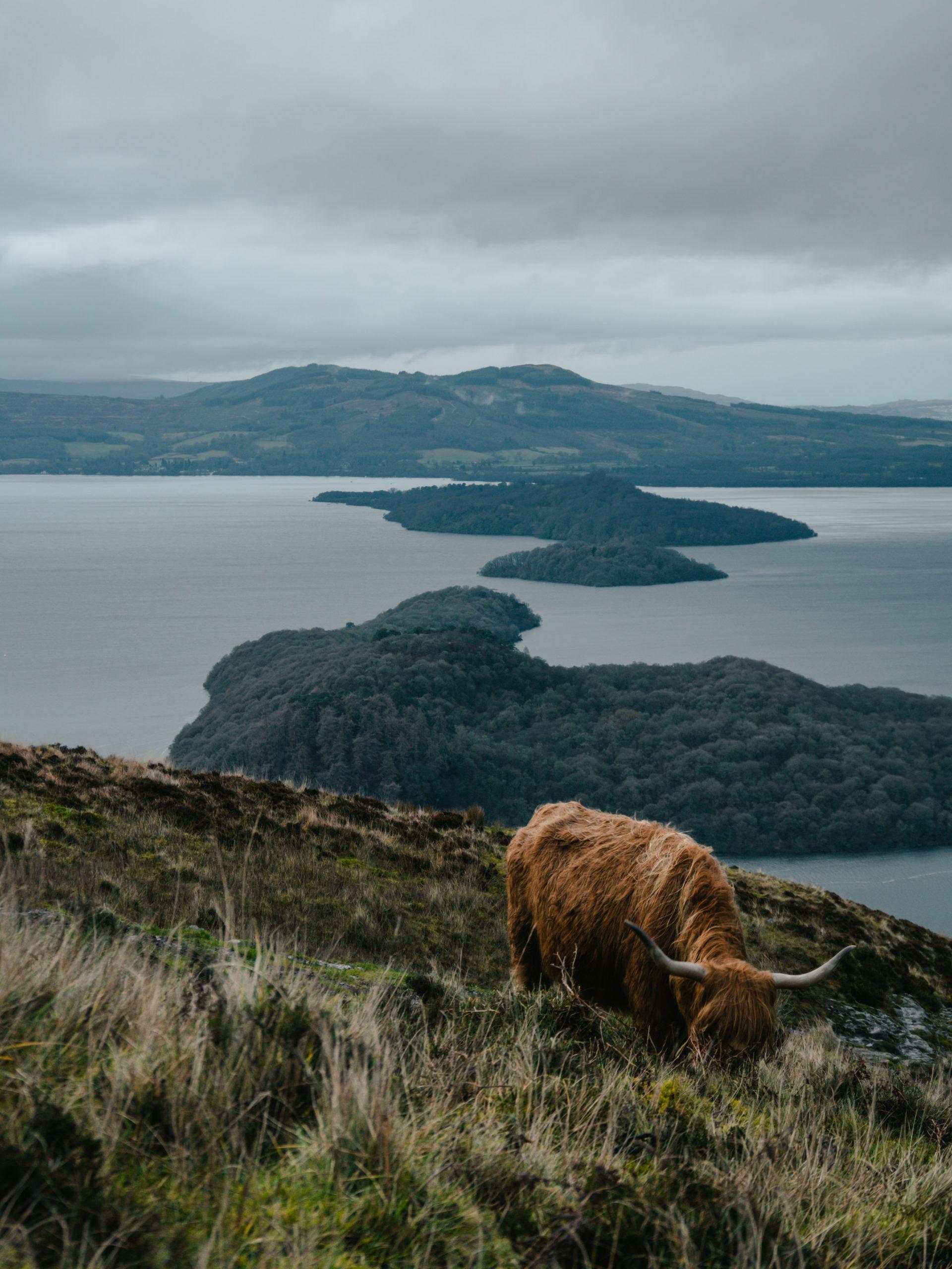 highlands vache écosse randonnée ballade conic hill