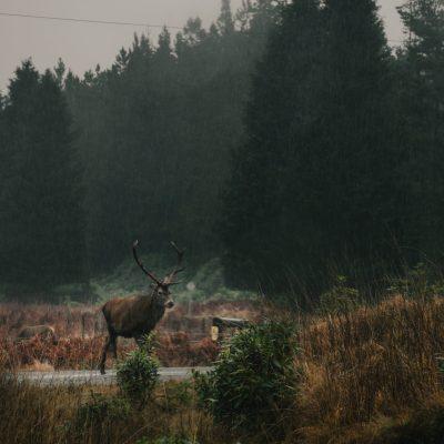 écosse cerf voyage conseil route road trip